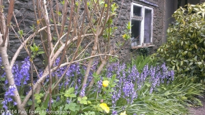 Bluebells by the Window